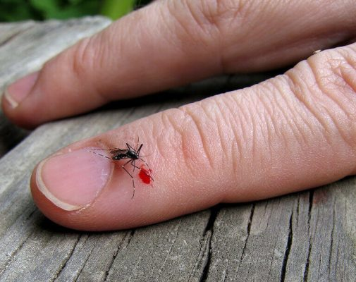 mosquito-bites-the-truth-about-stabbing-spitting-and-sucking