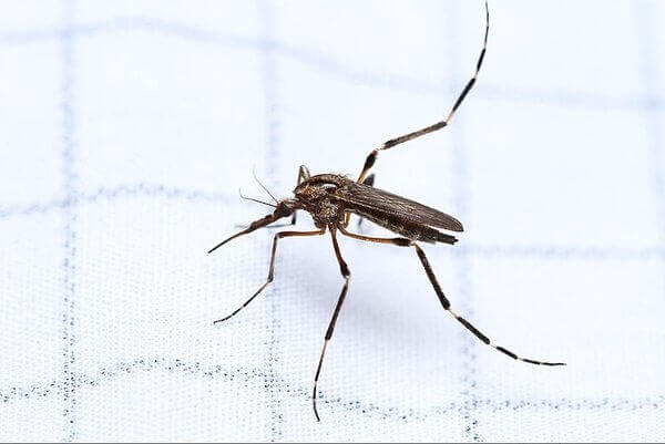 how-big-can-mosquitoes-get